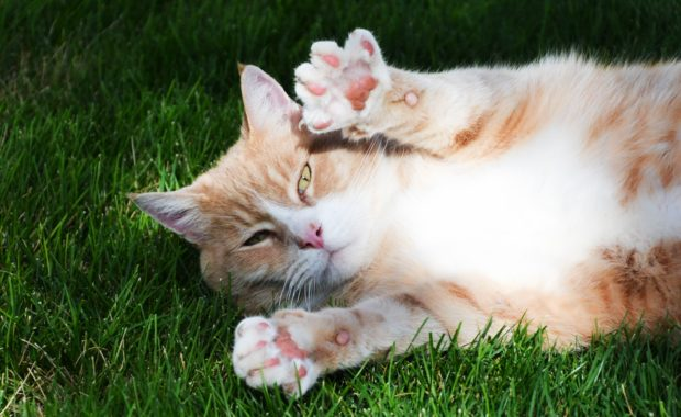 orange and white cat lying in green grass with its paws lifted up