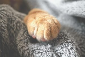 a close up one an orange and white cat paw sitting on a grey blanket