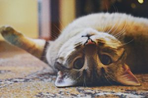cat lying upside down up close to camera