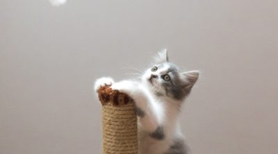 grey and white cat standing on a scratching post looking at a dangling mouse toy